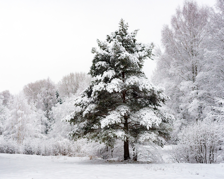 Pine in the winter forest. Snow covered trees. Winter landscape. Cold weather in Russia. Natural background