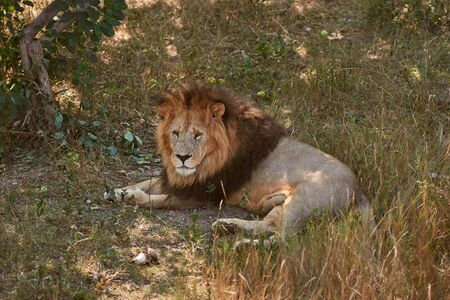 Big male lion lying on the grass. Lion resting in the shade. Wild animal in the nature habitat.