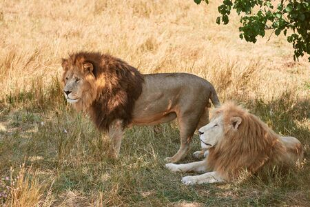 Two adult male lions rest in the shade. Wild animals in a natural habitat. 版權商用圖片