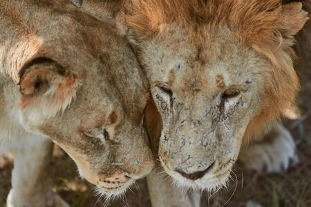 Close-up portrait of lions. Lion and Lioness rub their faces. Scarred lion face. Predator s love. 版權商用圖片