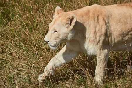 Big lioness walking in the savannah. Wild animal in the natural habitat.