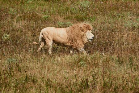 Single male lion walking in the savannah. Wild animal in the natural habitat.