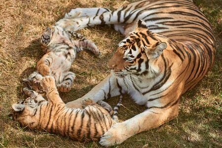 Mamá tigresa con dos bebés. Dos pequeños cachorros de tigre jugando. Familia de tigre. Animales salvajes en la naturaleza.