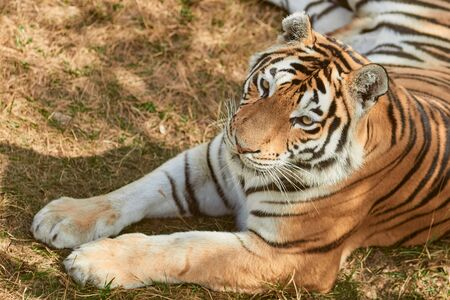 Portrait of adult tigress. Wild animal in the nature