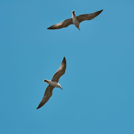 Flying seagulls. Seagulls against a clear blue sky. Two birds soar high in the sky. Seabird. Bottom view