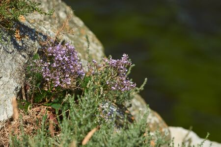 Small beautiful flowers grow on a rock. Flowers over a cliff. Cliffs and sea