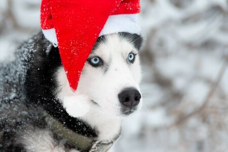 Dog portrait in a red Santas hat. Black and white Siberian husky with blue eyes outdoors in winter. Merry Christmas and Happy New Year.