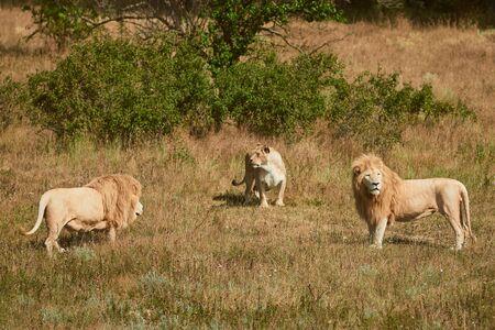 Three adult lions in the savannah. Wild animals in a natural habitat. 版權商用圖片