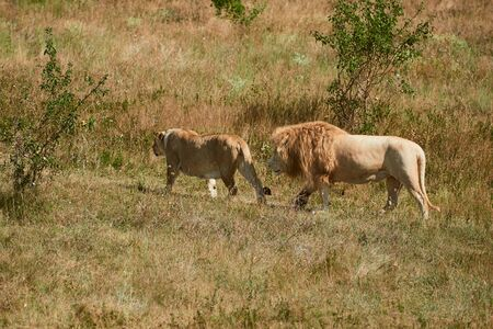 Two adult lions walking in the savannah. Wild animals in the natural habitat.