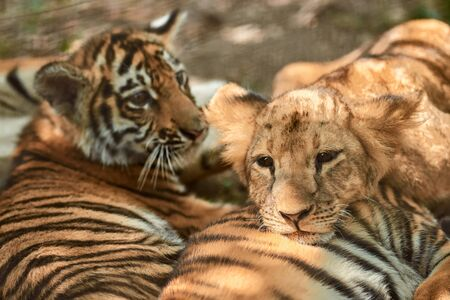 Little tiger cubs and lion cubs together outdoors. Tiger kindergarten. Wild animals in nature