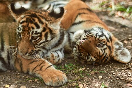 Two little tiger cubs outdoors. Tiger kindergarten. Wild animals in nature
