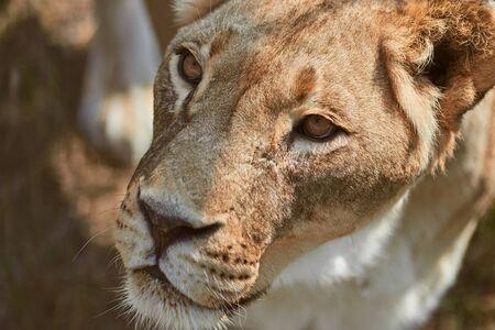 Close-up portrait of adult lioness. Wild animal in the nature habitat.