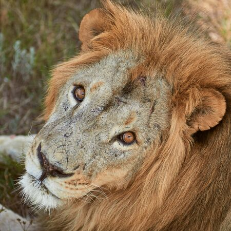 Close-up portrait of adult male lion. Scarred lion face. Wild animal in the nature habitat.