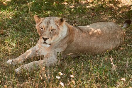 Big lioness lying on the grass. Lion resting in the shade. Wild animal in the nature habitat. 版權商用圖片
