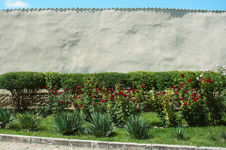 Red roses bloom in the summer garden. Beautiful flowers grow on a white wall background