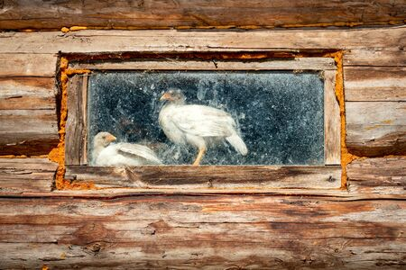 White hens in a dirty window of an old chicken coop. Poultry farm, agriculture, animal husbandry