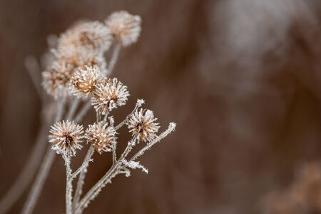 Dry thorny burdock in winter on a blurry background. Thistle, bur, burdock, thorn, Arctium. Winter natural background. Selective focus