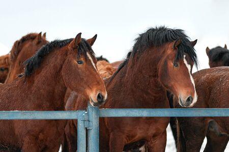 Closeup of a brown horses in a paddock. Horses on a farm in winter. Foto de archivo