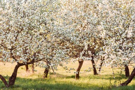 Lonely blooming apple tree at sunset. Spring landscape