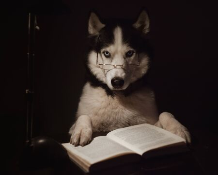 Clever dog reads an interesting book in the dark. Siberian Husky with glasses reads a book under the light of a table lamp.