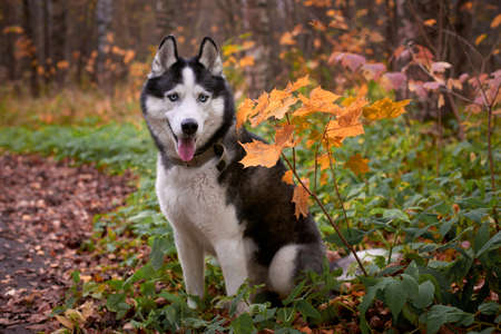 Portrait of a dog on autumn background. Siberian Husky black and white colour outdoors in autumn park, tongue out. A pedigreed purebred dog