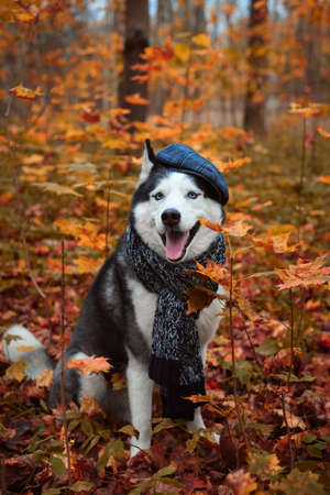 Portrait of a dog in cap and scarf on autumn background. Siberian Husky black and white colour outdoors in autumn park, tongue out. A pedigreed purebred dog 版權商用圖片