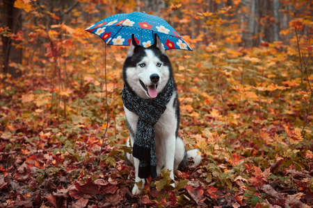 Portrait of a dog in a scarf with a blue umbrella on autumn background. Siberian Husky black and white colour outdoors in autumn park, tongue out. A pedigreed purebred dog 版權商用圖片