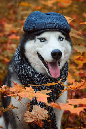Close-up portrait of a dog in cap and scarf on autumn background. Siberian Husky black and white colour with blue eyes outdoors in autumn park, tongue out. A pedigreed purebred dog