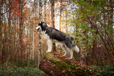 Portrait of a dog on a tree stump. Siberian Husky black and white colour outdoors in autumn park. A pedigreed purebred dog