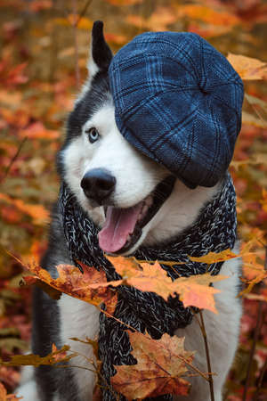 Close-up portrait of a dog in cap and scarf on autumn background. Siberian Husky black and white colour with blue eyes outdoors in autumn park, tongue out.