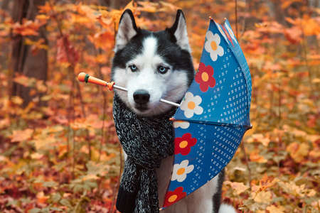 Close-up portrait of a dog in a scarf with a blue umbrella on autumn background. Siberian Husky black and white colour with blue eyes outdoors in autumn park. 版權商用圖片
