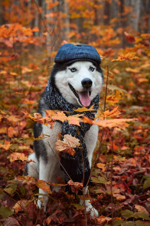 Portrait of a dog in cap and scarf on autumn