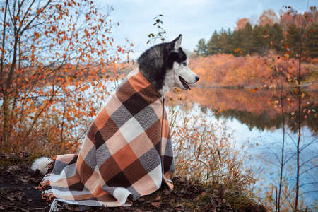 Dog wrapped in a blanket sits by the river. 版權商用圖片