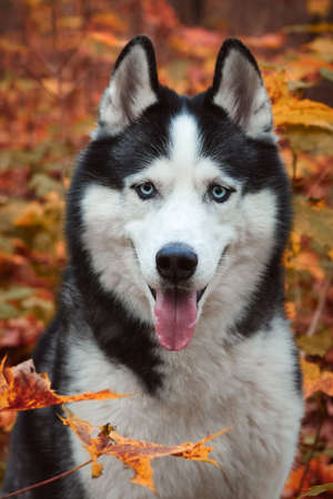 Close-up portrait of a dog on autumn background. Siberian Husky black and white color with blue eyes outdoors in autumn park, tongue out. A pedigreed purebred dog