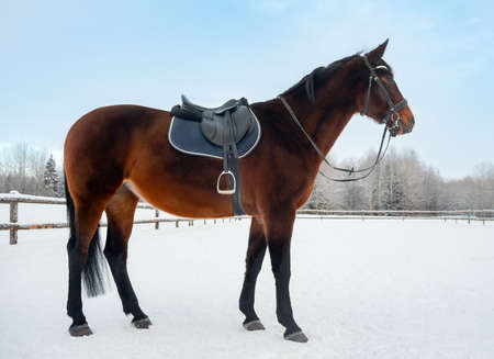 Harnessed brown horse in paddock. Horse on a farm in winter.