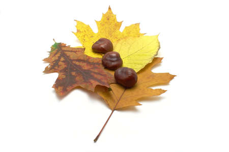 Leafs and conkers