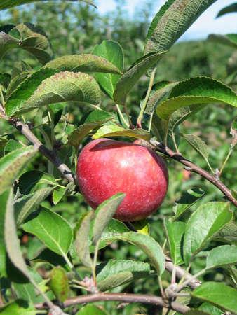 Apple h�ngen von einer Zweigniederlassung in einem Apfelgarten