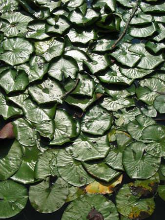 Lilly Pads schwimmende auf dem Wasser