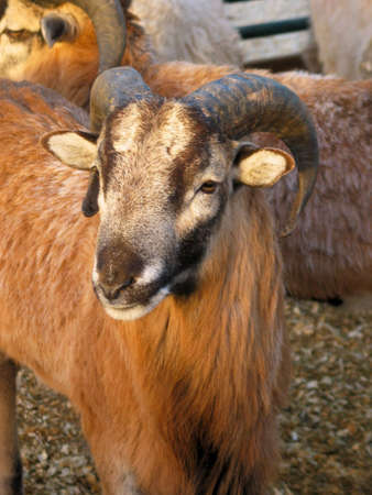 A Ram at a petting zoo