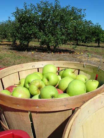 Korb voller �pfel auf ein Apfelgarten