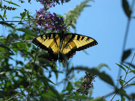 Butterly on a lilac tree