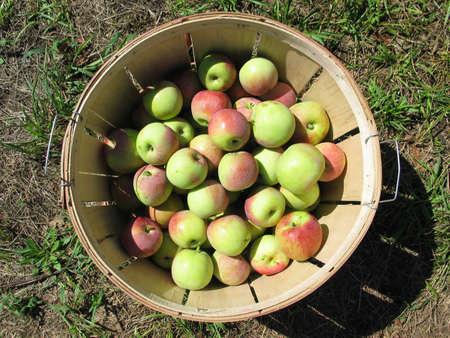 Ein Korb voller �pfel aus Apfelgarten  Lizenzfreie Bilder