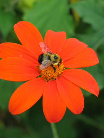 A Bumblebee getting some pollen from an orange daisy Stock Photo