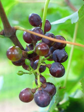 Ein Closeup Hinblick auf eine Traube auf einem Weinstock zu einem Weinberg