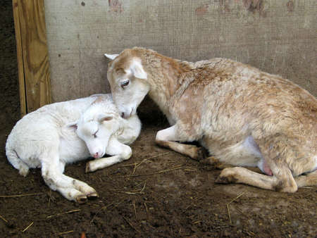 A sheep with her young lamb snuggle to keep warm Stock Photo