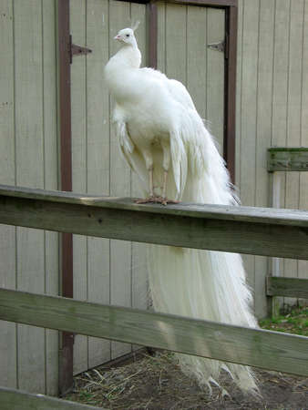 A White Peacock sitting perched on top of a fence