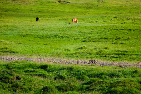 polar fox: Polar fox running along stone path on green Icelandic meadow against grazing horses background