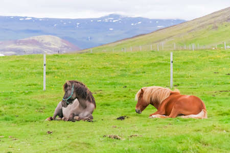 Two Icelandic horses lying on a green pasture against ice mountain background photo