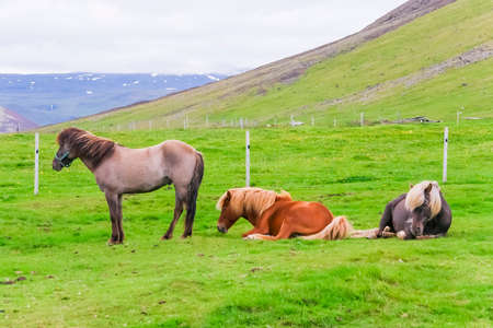 Three Icelandic horses on a green pasture against ice mountain background photo