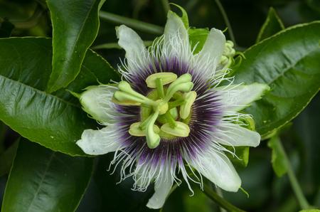 passiflora: Passiflora foetida Linn